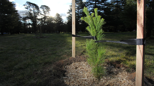 A young Radiata Pine in a park.