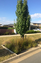 A rain garden (or bio-retention basin) in an urban street which features a street tree and trimmed vegetation.